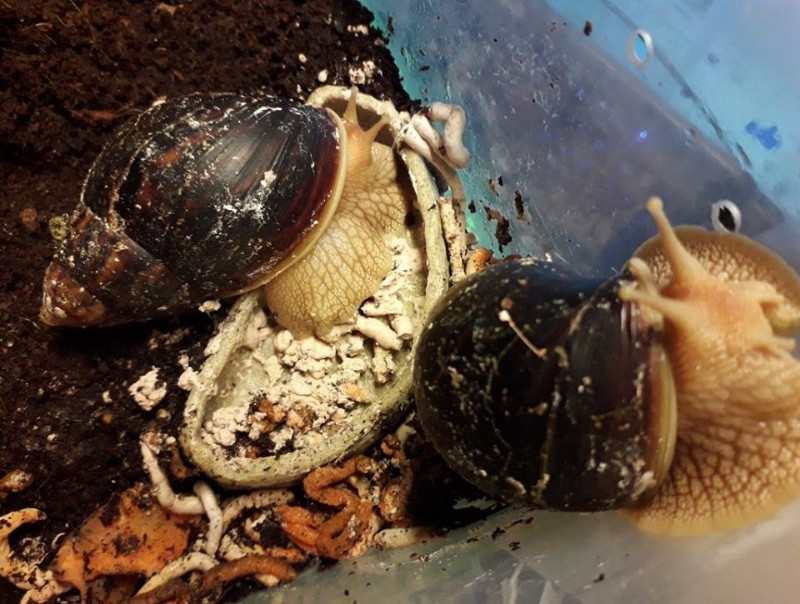 Defekace-gastropodu-3