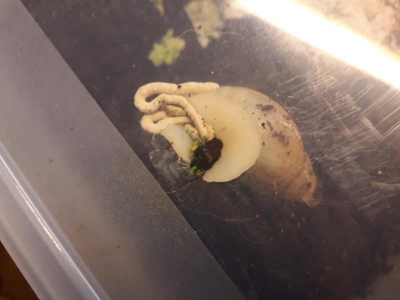 Defekace-gastropodu